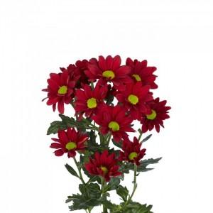Хризантема кустовая бордовая
