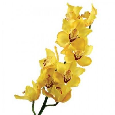 Орхидея Желтая