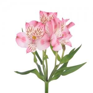 Альстромерия - Розовая