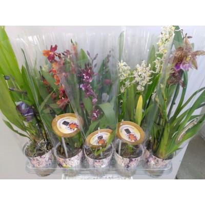 Орхидея Инка Парфюм микс 2ст. 12/50