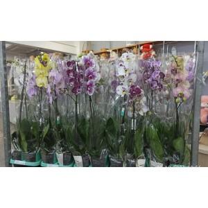 Орхидея Фаленопсисмикс Супер 1в. 12/70