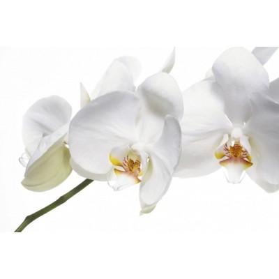 Орхидея Фаленопсис белая 2в 15/90