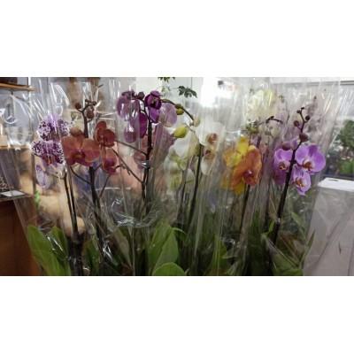 Орхидея Фаленопсис Супер микс 1в. 12/70