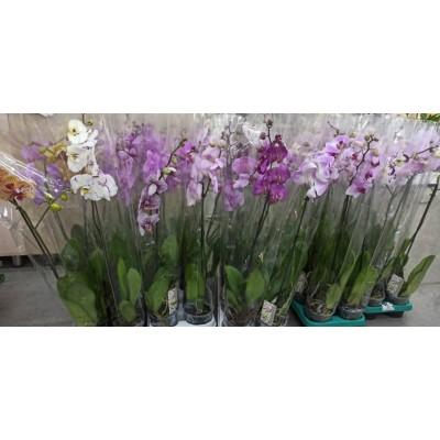 Орхидея Фаленопсис микс 1в. 12/60
