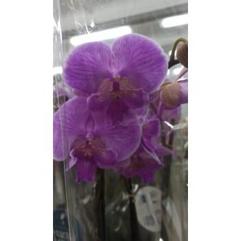 Орхидея фаленопсис Биг Липс 2в 12/60