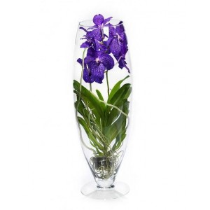 Орхидея Ванда Шампань синий  70см