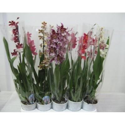 Орхидея Камбрия микс 9/50