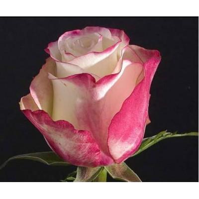 Роза Свитнесс (Sweetness)