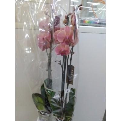 Орхидея Фаленопсис Оранж. 2в. 12/60