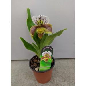 Орхидея Пафиопедилум 12/30
