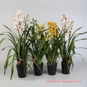 Орхидея Цимбидиум 2в 14/75