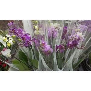 Орхидея фаленопсис мультифлора микс 2в. 9/40
