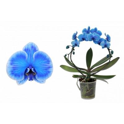 Орхидея Фаленопсис Каскад Голубой 2в. 12/45