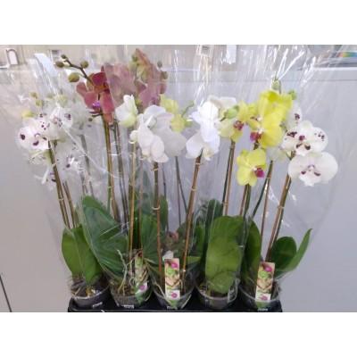 Орхидея Фаленопсис микс 2в. 12/60