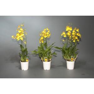 Орхидея Онцидиум 12/65