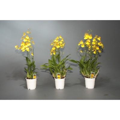 Орхидея Онцидиум 9/35
