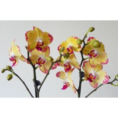 Орхидея Фаленопсис Попугай 2в. 12/60