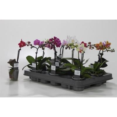 Орхидея Фаленопсис микс 1в. 9/40