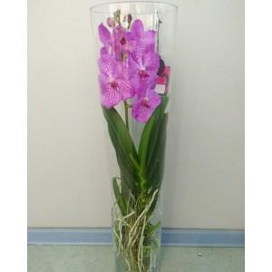 Орхидея Ванда 70см